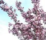 Flowering_trees_5_LR